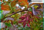 La tecnologia di impianto crespino e la cura per esso: consigliare dai giardinieri