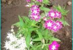 Drummond Phlox: in crescita dal seme, semina e cura