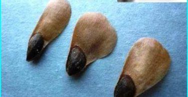 Come far crescere un abete rosso blu: in crescita di semi e talee
