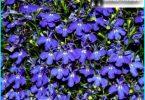 Lobelia: in crescita dal seme, impianto e manutenzione, messa a dimora nel giardino
