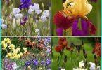 Impianto di iris bulbose + coltivazione e la cura