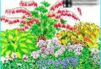 La coltivazione, la semina e la cura di Dicentra (cuore spezzato)