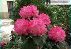 Rododendri: semina, coltivazione e manutenzione, il tutto a circa riproduzione