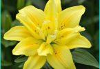 Piantare gigli in primavera nel terreno: le raccomandazioni di giardini esperti