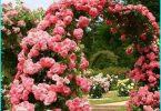 Messa a dimora e le rose che crescono in primavera in Siberia + selezionare varietà resistenti