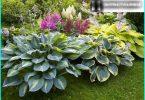 """Hosta nella progettazione del paesaggio: come far crescere un """"ombra della Regina"""" nel suo giardino"""