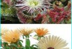 Decorare il giardino con l'aiuto di un erba di cristallo (Mesembryanthemum e Doroteantus)